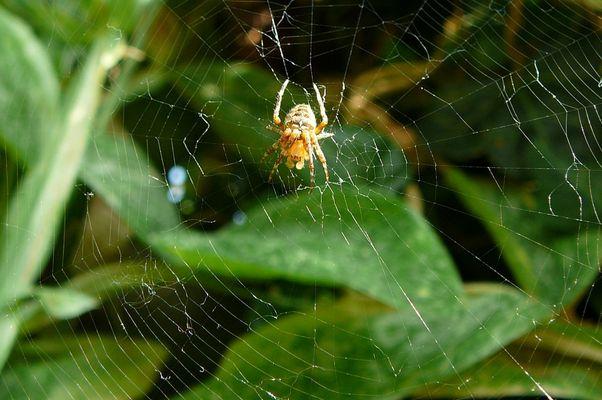 Spinne auf dem Netz