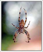 Spinne auf Reichenau