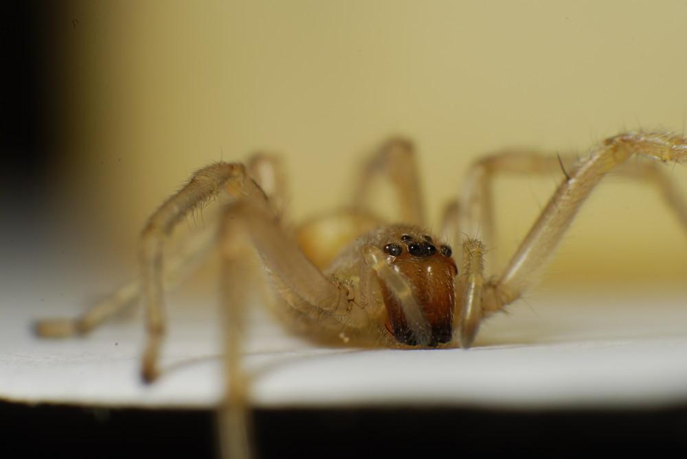 Spinne auf Schreibtisch