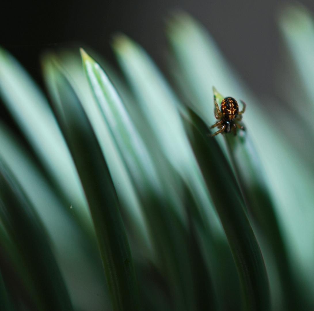 Spinne auf Tannennadel