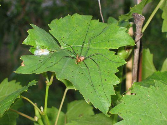 Spinne auf Weinblatt