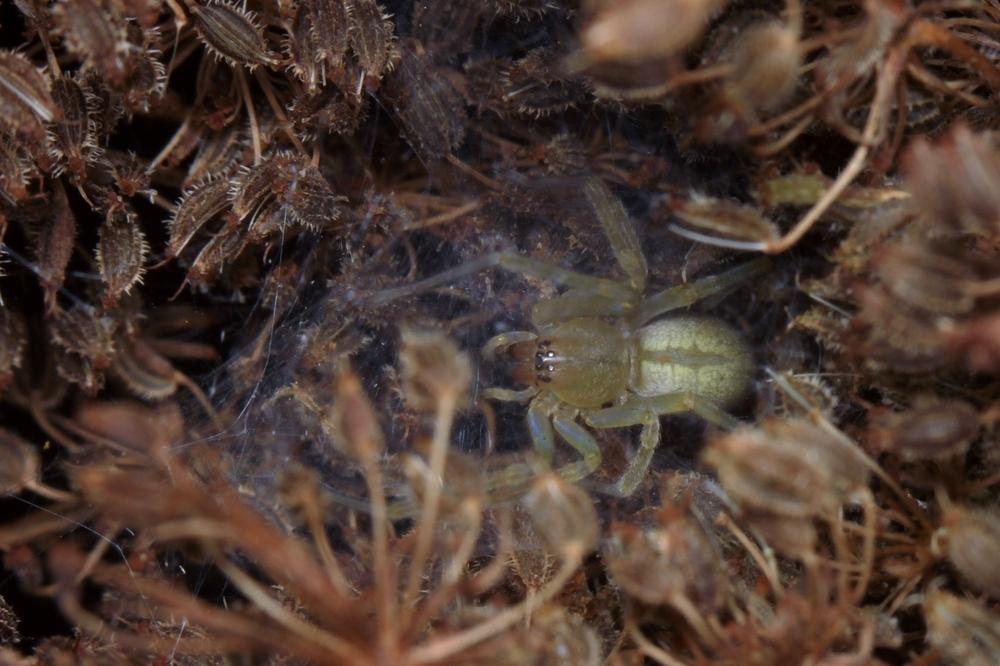 Spinne auf Wilder Möhre