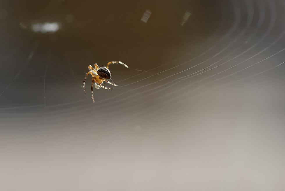 Spinne bei der Arbeit