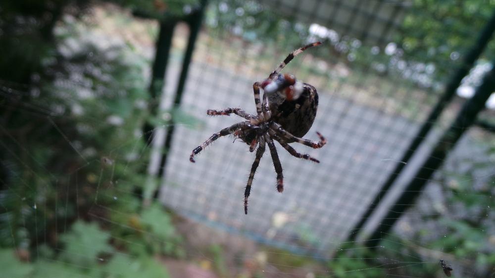 Spinne bei der Mahlzeit...