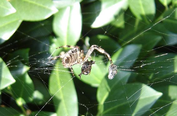 Spinne bei der Mahlzeit