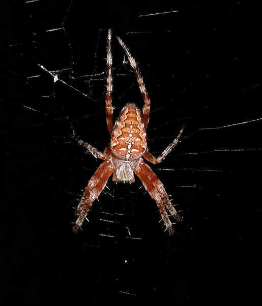 Spinne bei Nacht