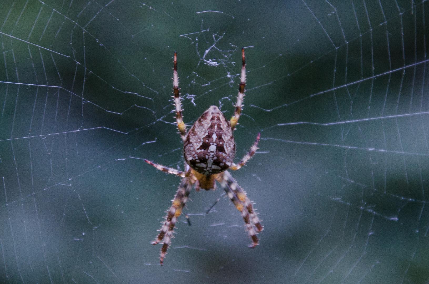 Spinne beim Chillen