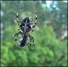 Spinne beim Dinner