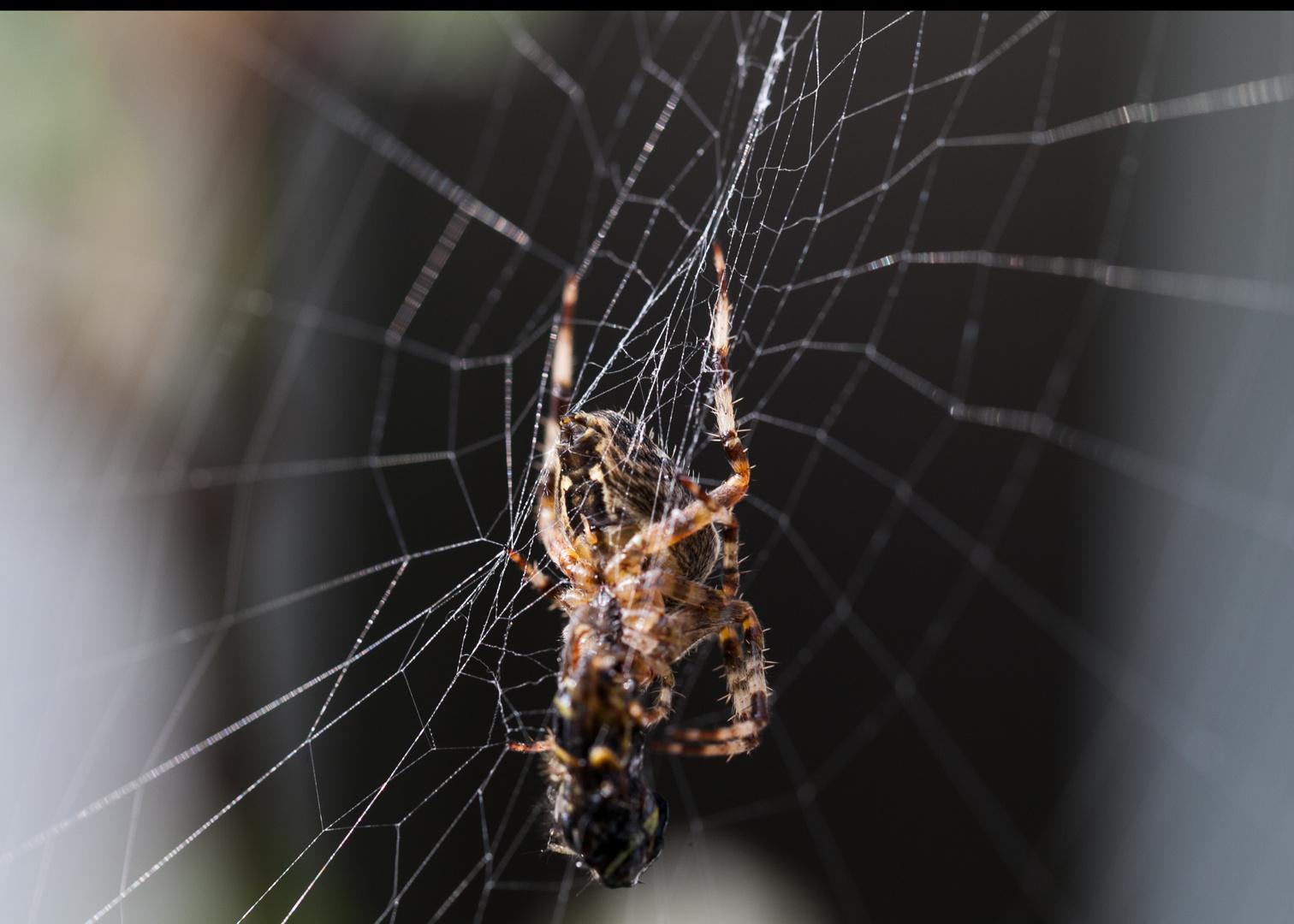 Spinne beim Frühstück
