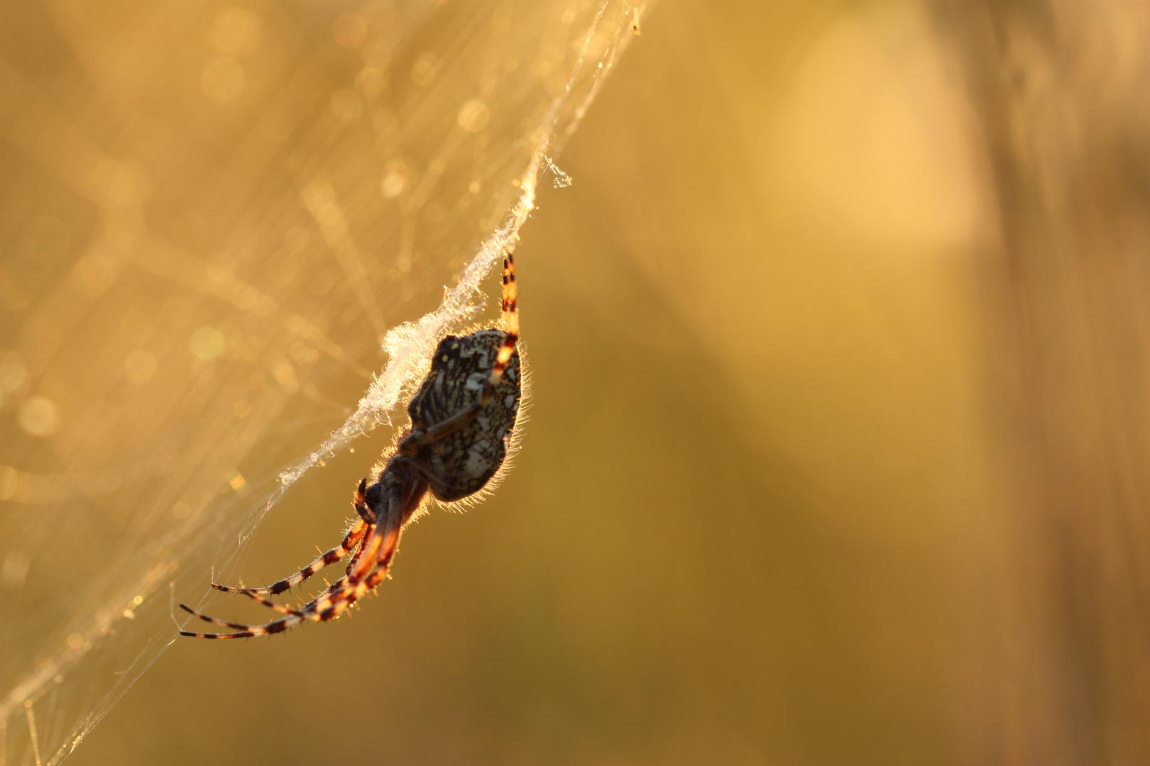 Spinne beim Sonnenuntergang
