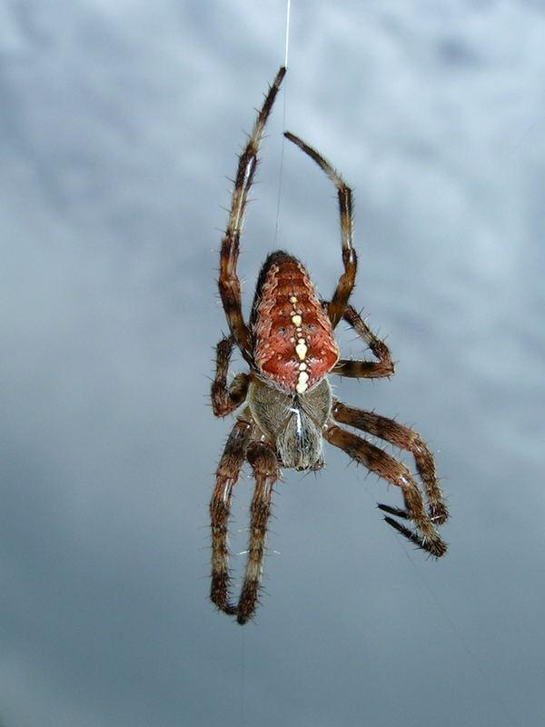 Spinne beim spinnen