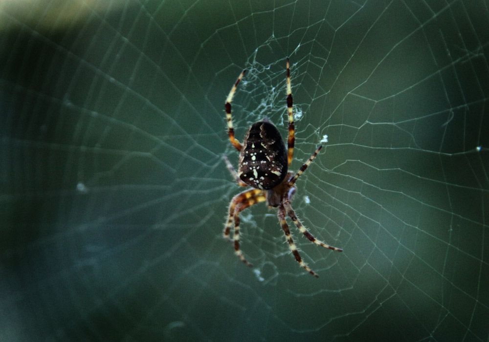 Spinne bewacht ihr Netz