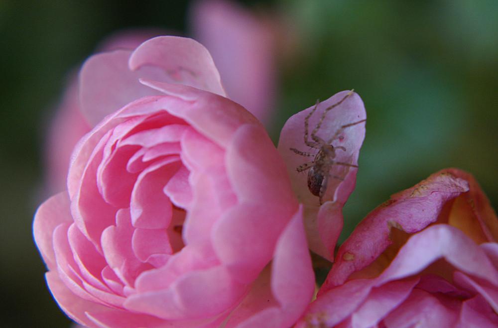 Spinne & Blüte