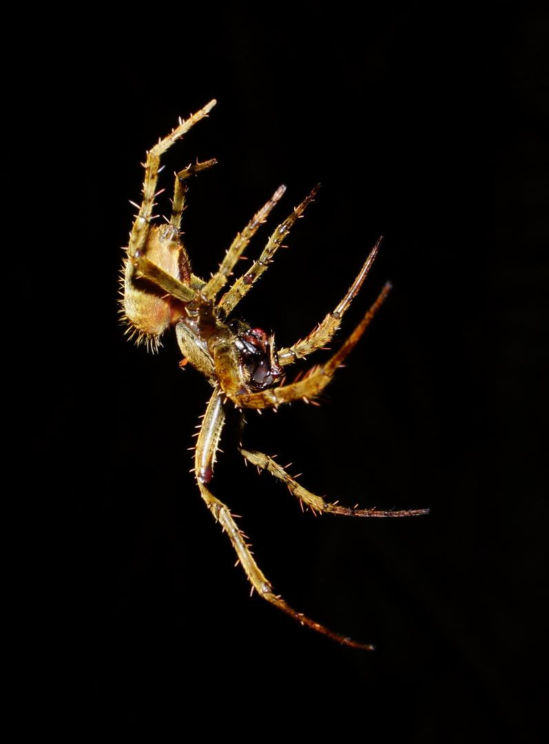 Spinne - Costa Rica