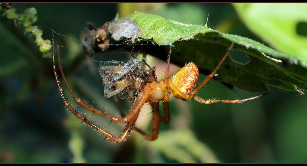 Spinne frisst Spinne...