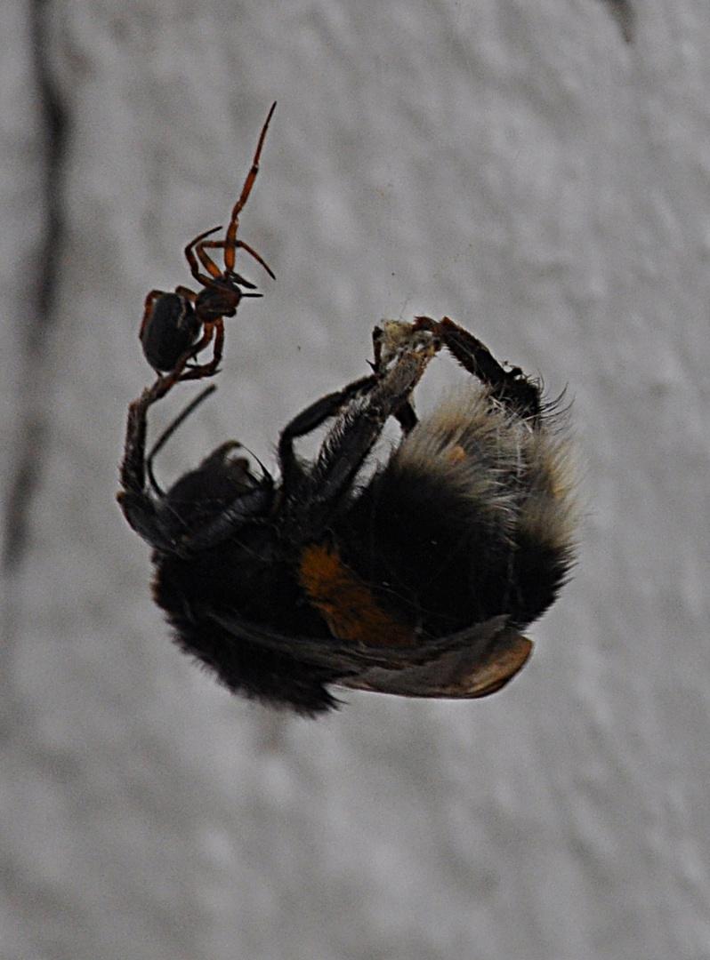 Spinne greift Hummel