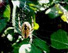 Spinne im Altweibersonnenbad