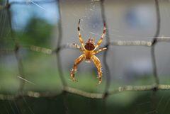 Spinne im doppelten Netz