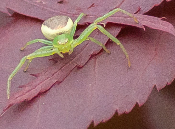 Spinne im Garten