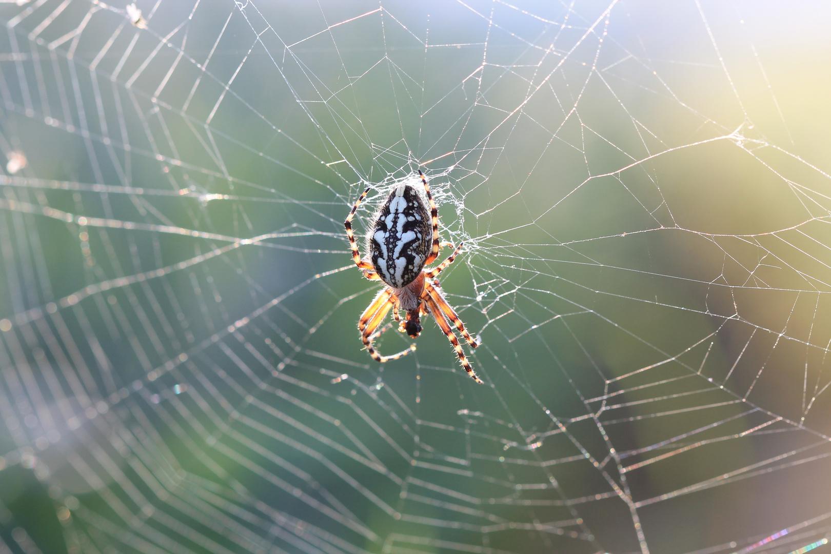 Spinne im Herbstlicht,