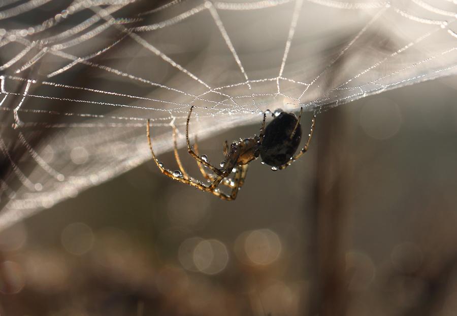 Spinne im Morgentau
