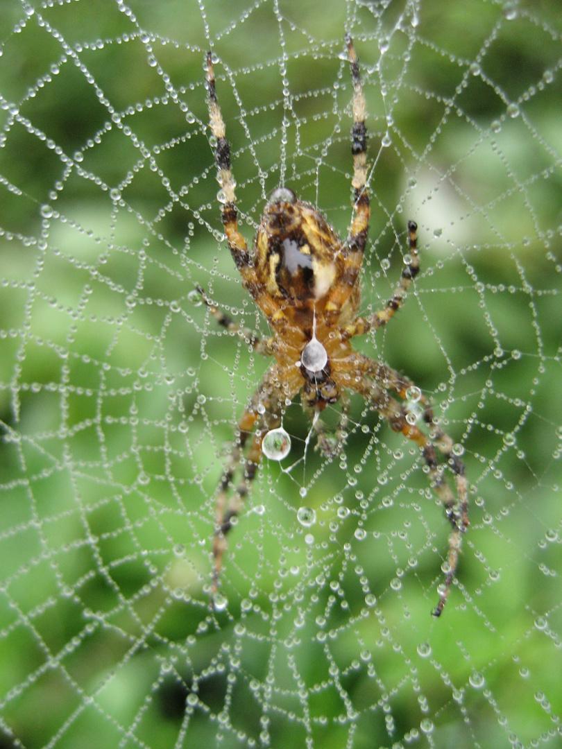 Spinne im Netz bei Morgentau