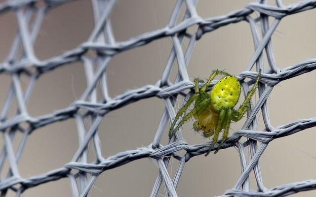 Spinne im (Nylon-)Netz
