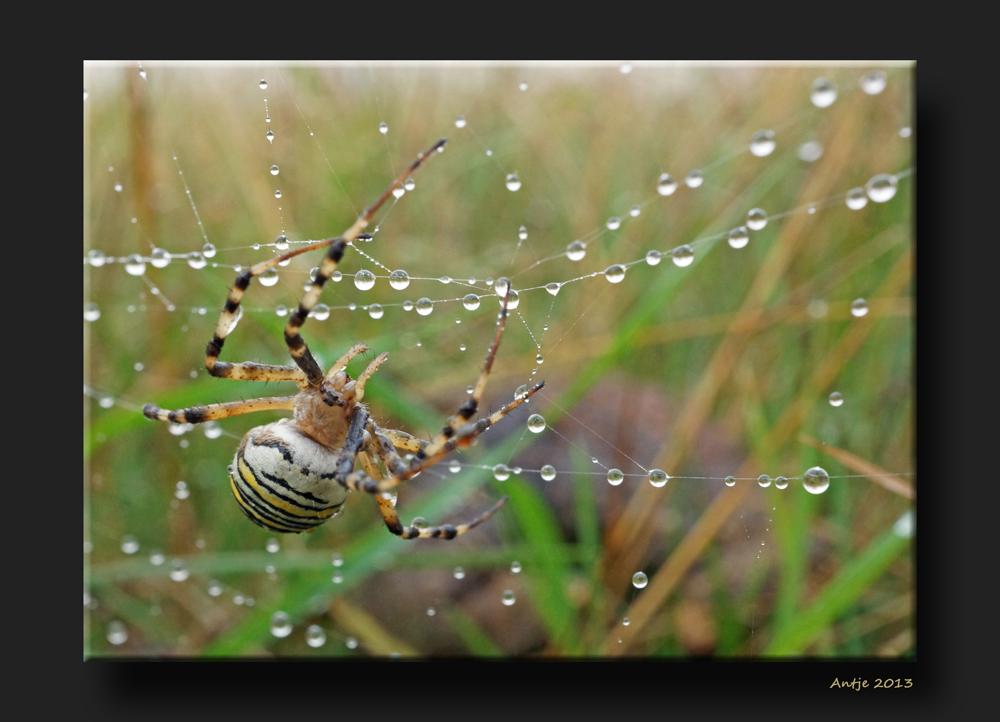 Spinne im Regen