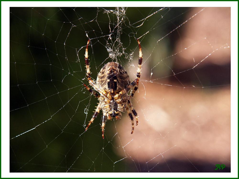 Spinne im Sonnenbad