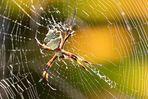 Spinne in einer Aloepflanze - spider between aloe branches