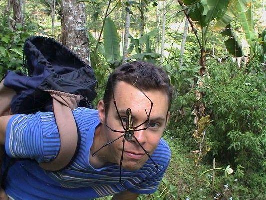 Spinne in einer Bannanenplantage auf Java / Indonesien