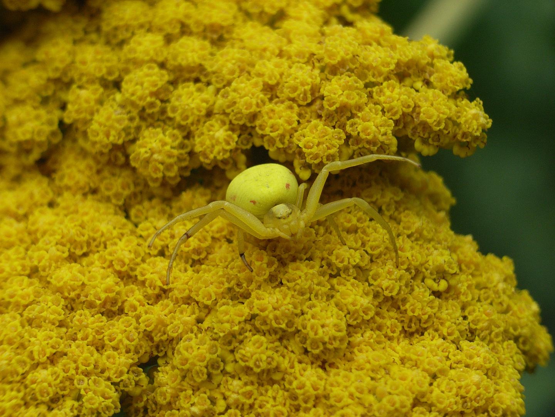 Spinne in Gelb
