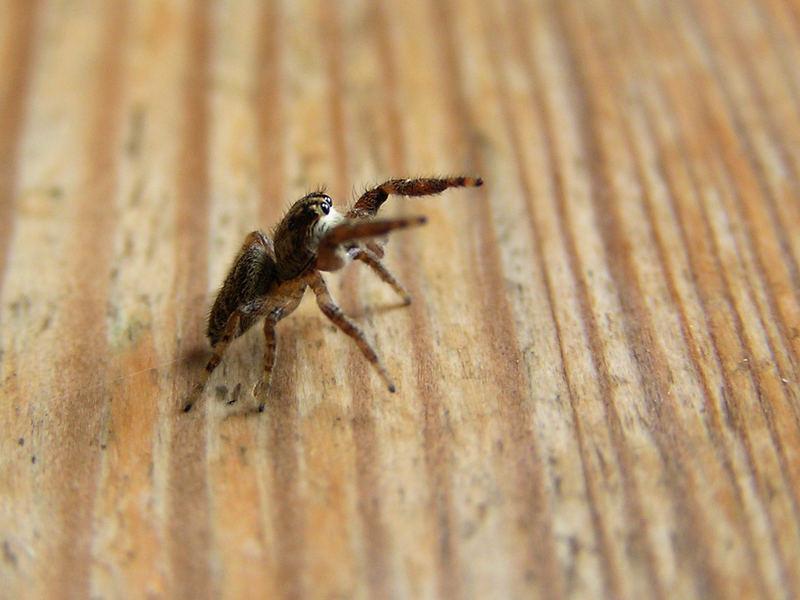 Spinne in Kampfhaltung