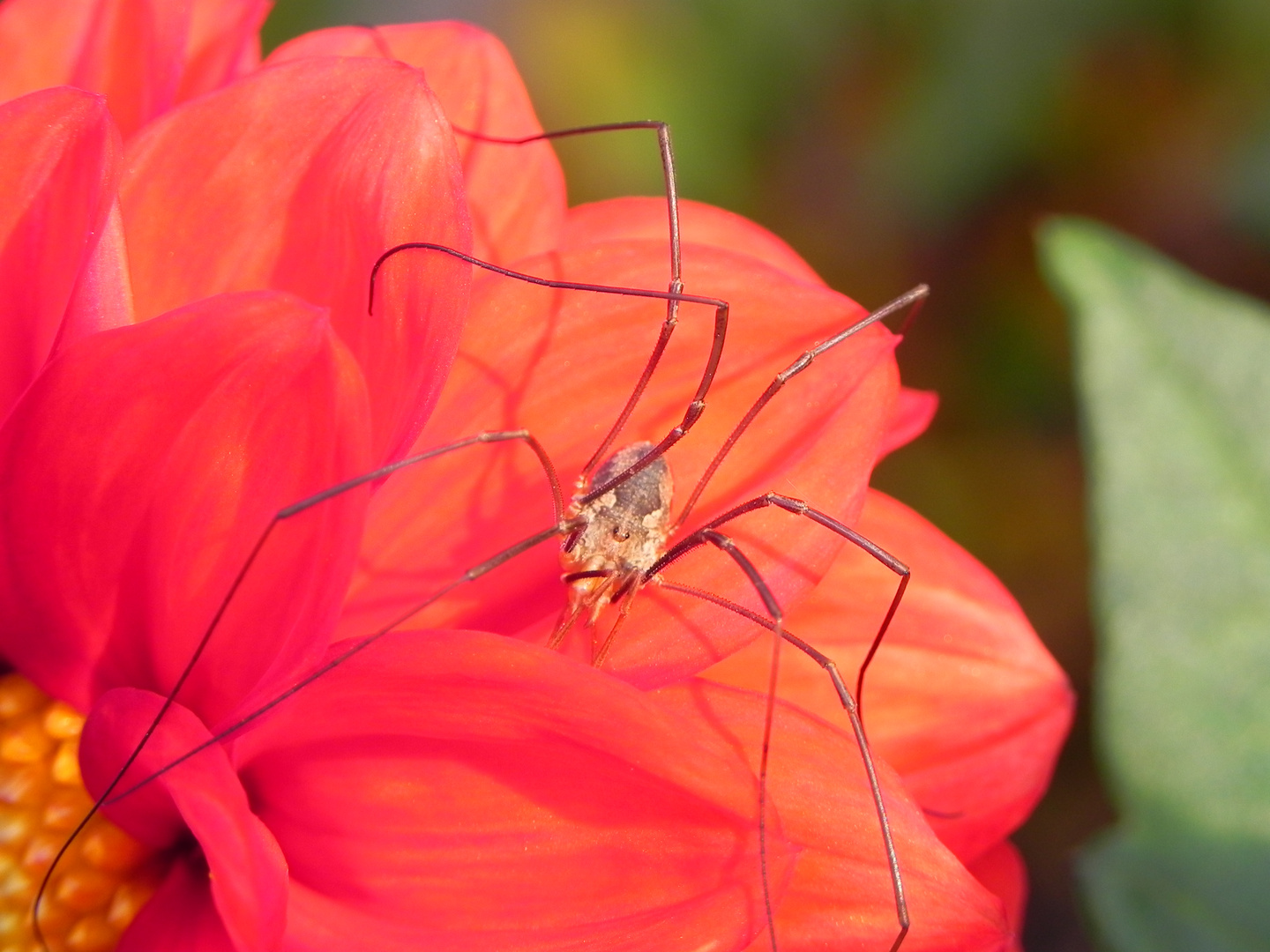 Spinne in red