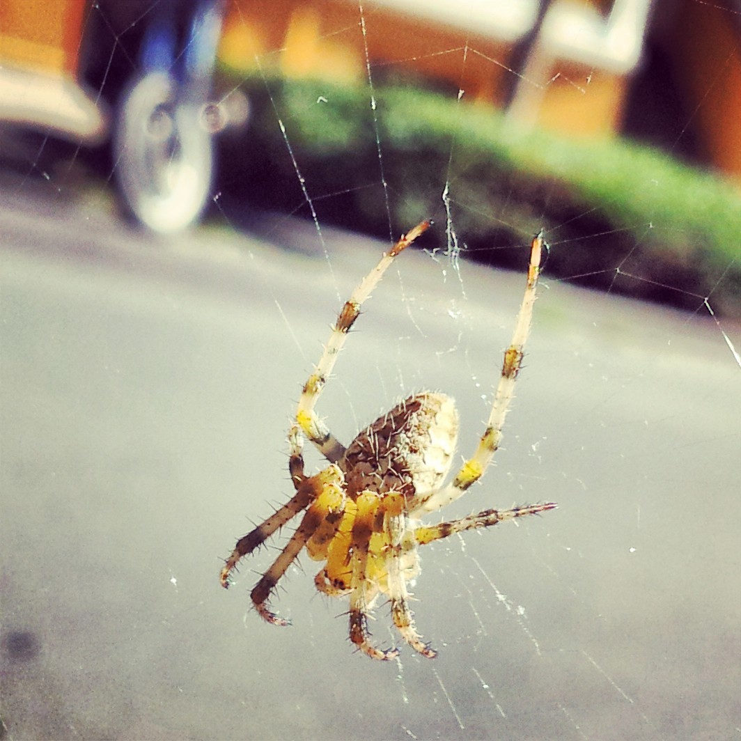 Spinne in Verkehr