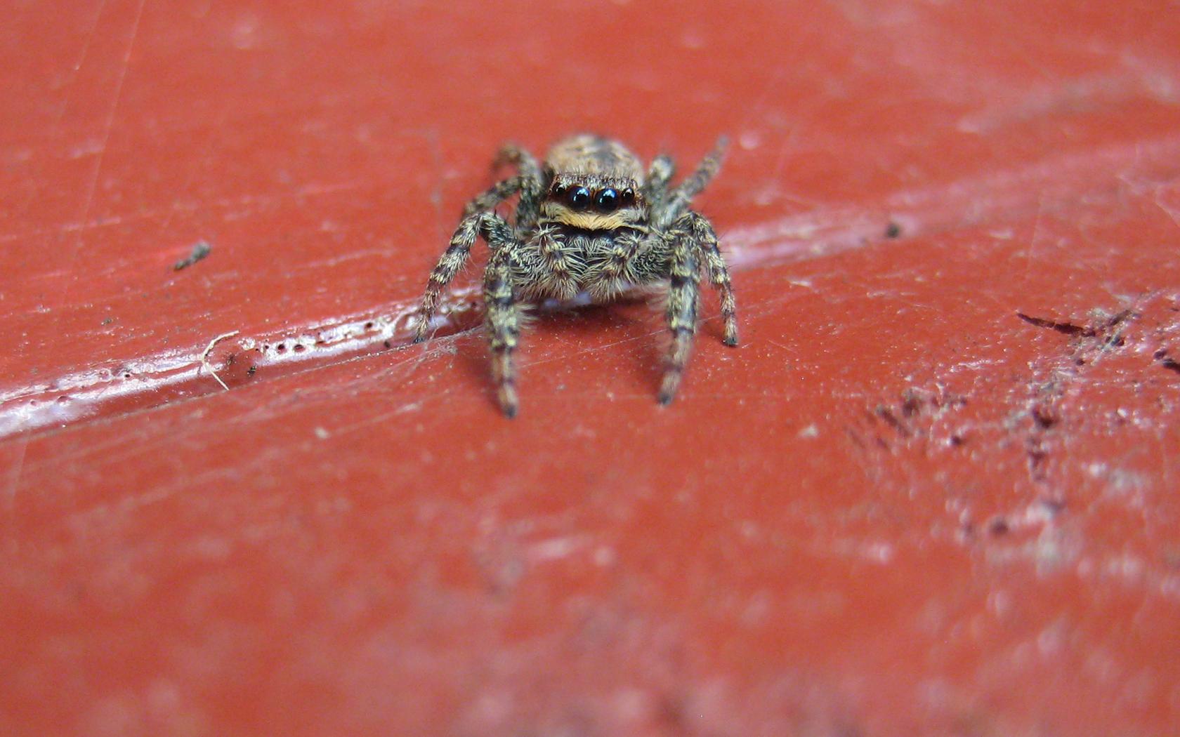 Spinne Makro (Überarbeitet)