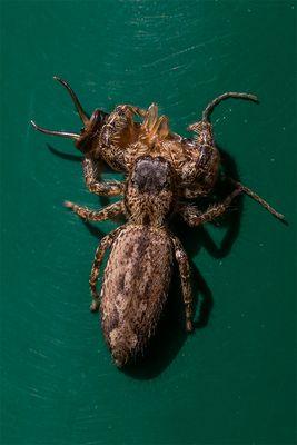 Spinne-mit-Beute