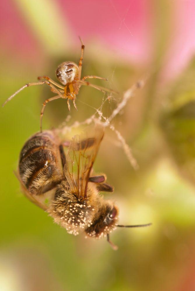 Spinne mit Biene