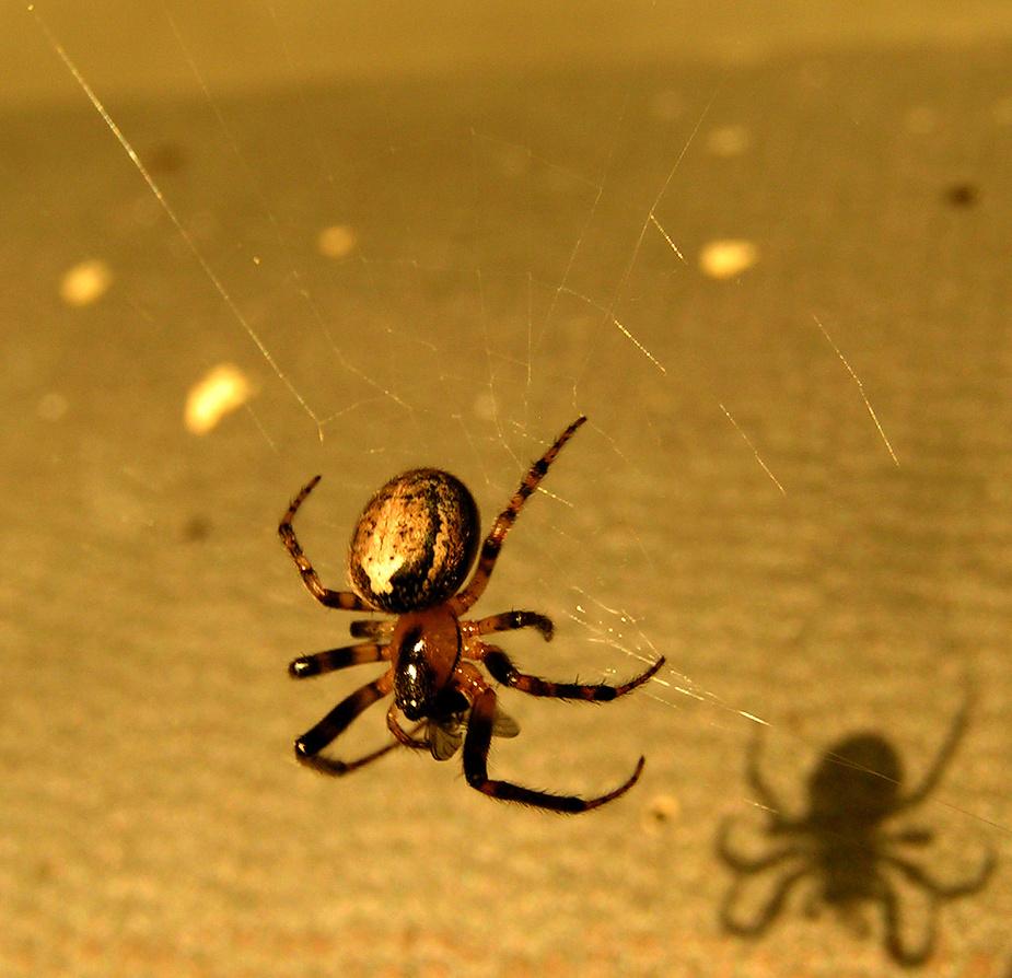 Spinne mit Fliege