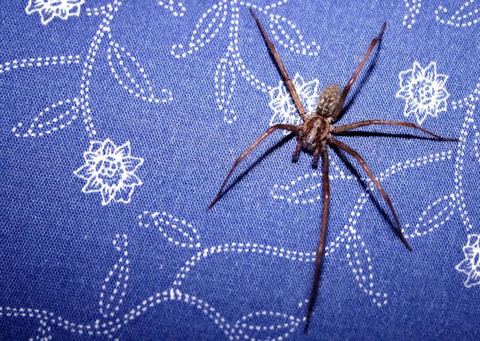 Spinne - nicht freigestellt