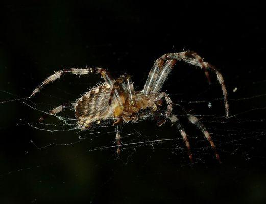 Spinne seitlich
