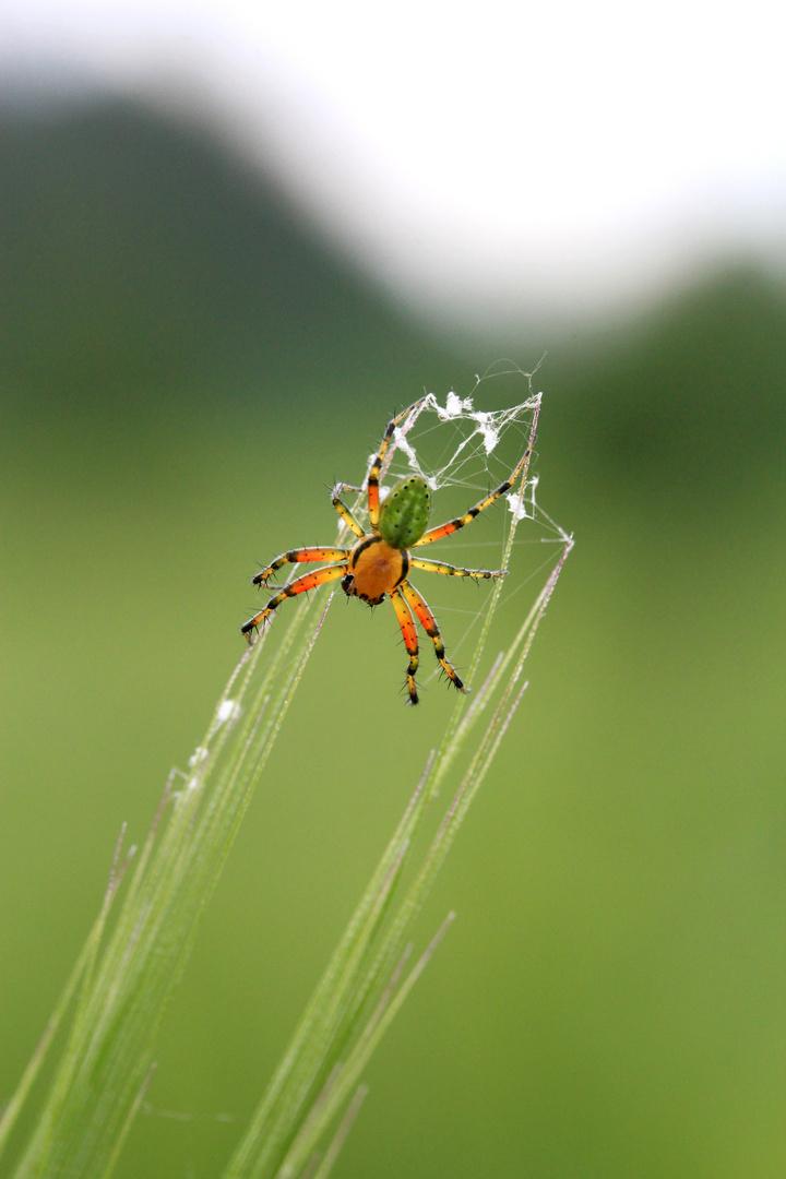 Spinne Spinnerin