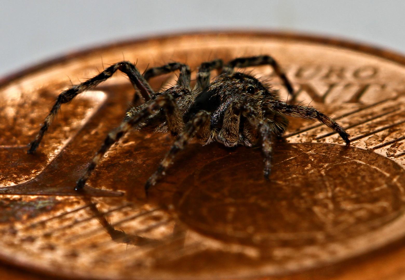 Spinne und der Cent