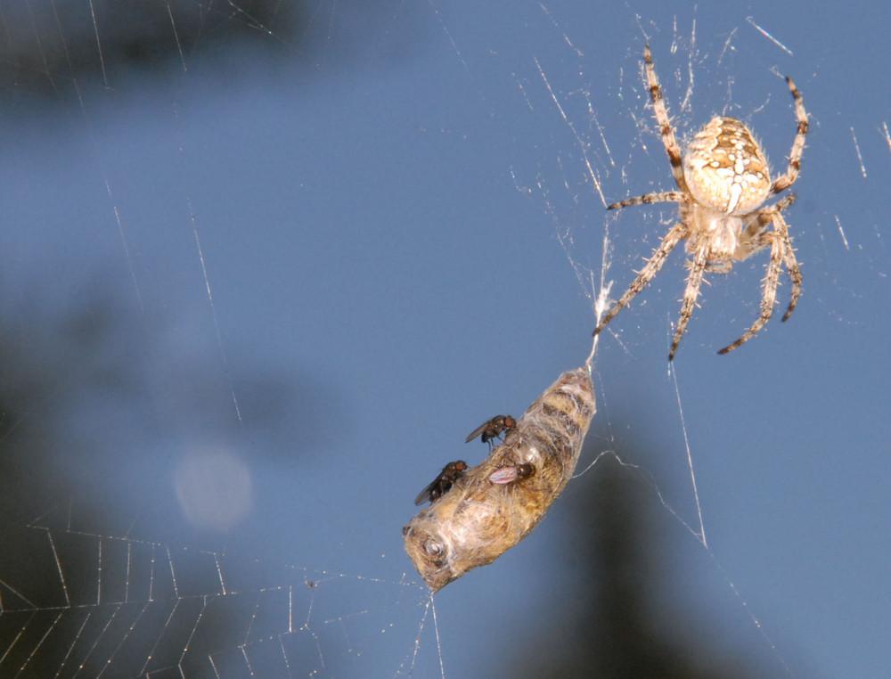 Spinne und Fliegen