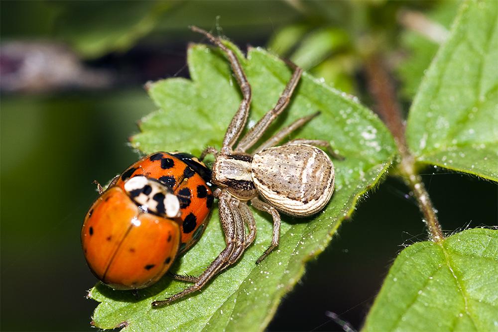 Spinne und Marienkäfer