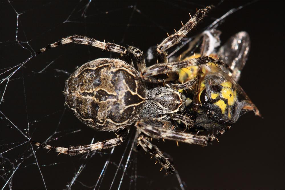 Spinne und Wespe