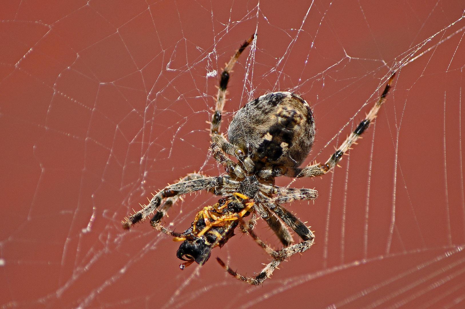 Spinne verspeist Wespe