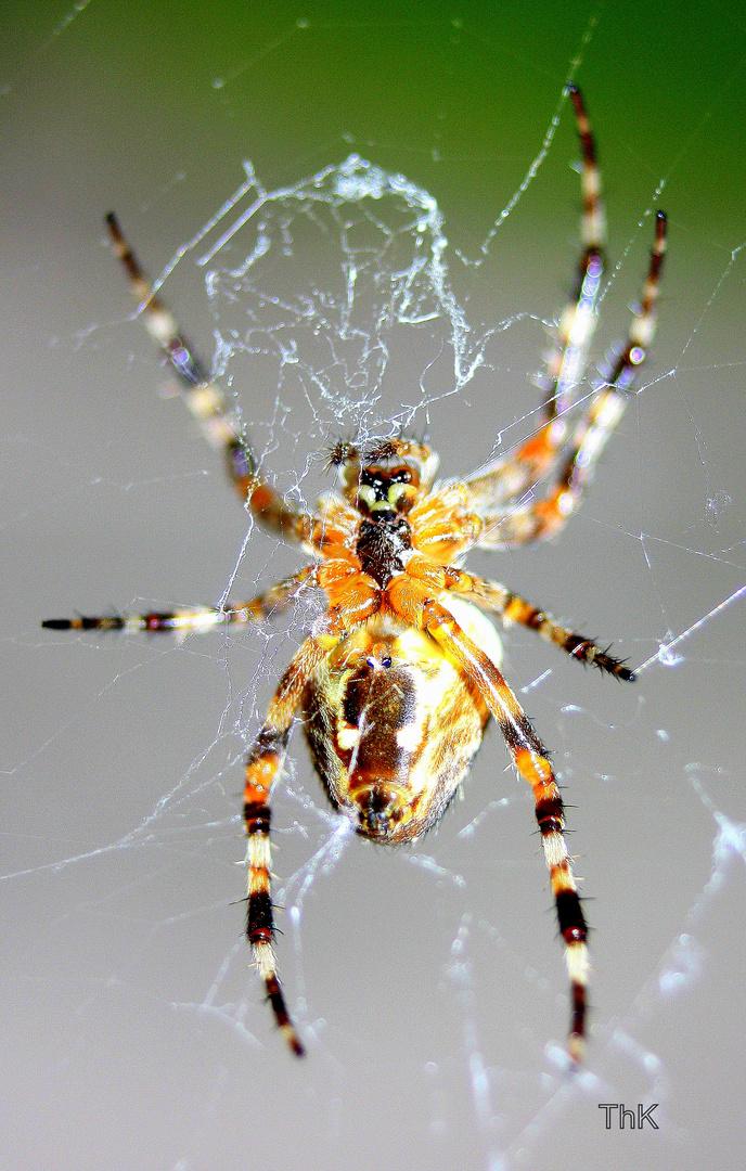 Spinne von unten
