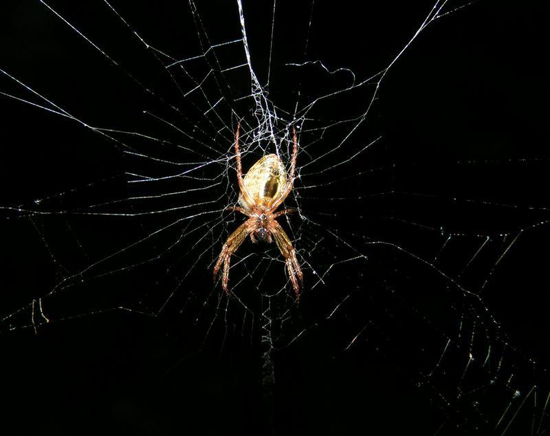 Spinne von unten (Oz)
