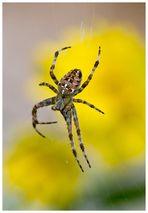 Spinne, vordergründig